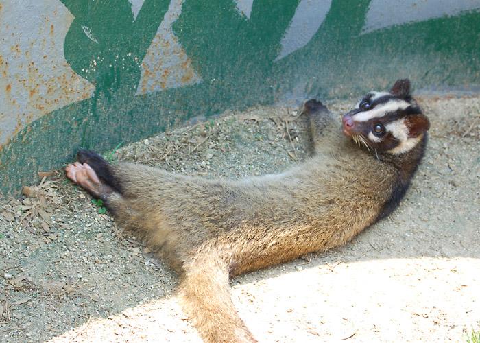 寝ているハクビシンの写真素材